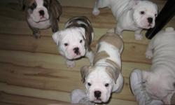3 males and 3 females looking for loving homes , parents are pure bred and registered , puppies will be sold on a no breed contract , they have their first set of shots and been dewormed and have a clean bill of health
