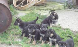 We have nine adorable pure bred German Shepherd puppies for sale, six boys and three girls.  Both parents are on site and are very good tempered.  Ready to go Oct. 30th.Please call after 5:30 p.m. or e-mail any time.