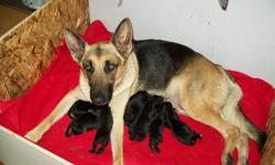 Hello, once again  Saphire and Chewy are proud  parents of 7 beautiful puppies. These beautiful German shepherds produce amazing offspring.I have 6 males and 1 female. If you are looking for the perfect family member to add to your fantastic family then