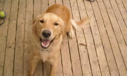 I have a female pure bred golden retriever, just over 1 year old. She is house broken, crate trained, and a great companion. She is spayed and up to date on her needles. She knows basic commands like sit and stay and lay down. With my husband being