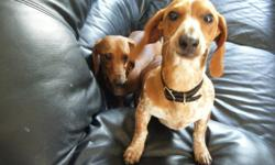 I have a handsome little dachshund, he is red and white in colour & he is also microchipped and the chip has not been registered, so he can be registered to wherever he goes. He is also up to date on all of his shots. I love him to death, but we live in a