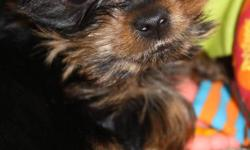 Cute and friendly purebread toy Teacup Yorkie, Bently is a 9 month old, pure bred tea cup yorkie, he weighs approximately 4 lbs.  Bently has all his vaccines, treated for rabies, dewormed, flea treatment.  We also have his microchip.  Raised in family