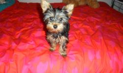 From $600.00 down to $500.00, Price is non-negotiable, 12 week old, unaltered, full bred, femaleYorkie puppy for sale. Her tail has been docked and  shes 3.7 lbs.Shes very playful and adorable. She has all of her first shots, shes been dewormed and comes