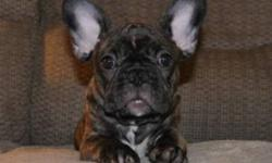 Sweet female french bulldog. Has been mirco-chipped, dewormed and has all three set of puppy vacination. Will be CKC registered. Sell is on a Non-breeding contract with a return of $150.00 upon confirmation of spay. Puppy is accustomed to other dogs and