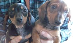 Male is Red, Female is black and tan. Ready to go!