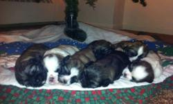 7 Pure breed puppy Shihtzus were born on Dec 17/11. 4 Females and 3 Males. Puppies will come with first vet check, shots and deworming. Mother and Father of puppies are on site. Serious enquiries ONLY This ad was posted with the Kijiji Classifieds app.
