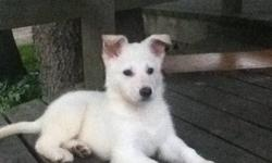 I have a white shepard puppy for sale. she is pure white and very friendly. she is great with other dogs and children. It upsets me to say good bye but i have recently moved out and am not able to have pets at the new place. She is about 6 months old. She