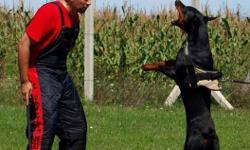 One and half  year old eueopean dobermann male with great working abilities.SchH obedience ,extraordinary good looking and good with kids.Very suitable for working,exterior competition and personal protection.Son of best breeding Italian male Urbano del