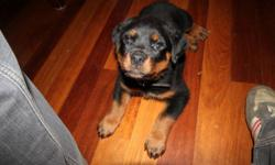 Pure Rottweiler Puppy Pick Of The Litter!!!!!! 8 week old Male pick of the litter for sale. From Great bloodlines on both sides all paperwork can be shown upon request. Male lives with us and can be viewed anytime also. Remainder of litter was all pre