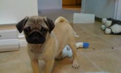 I have a pure tan female Pug that I have to sell due to my strata code changing to not allow pets. Shes 15 weeks old, adorable, great with adults and kids alike. She knows the commands to Sit and lay down. She retrieves anything that you throw right to
