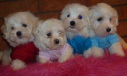 MALE AND FAMALE TINY AND TOY MALTESE DIFFRENT SIZES TO CHOOSE FROM, PRICE----750$-800$ THEY ARE NON SHEDDING AND HYPOALLERGENIC, FULL, FLUFFY PURE WHITE COATS. WILL MATURE TO BE: 6-8LBS THEY WERE VET CHECKED, RECIEVED THEIR 1st SHOT AND REVOLUTION, PUPS