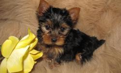 I have two females for sale, both mother and father are pure Yorkies. Mother is 4.5 to 5 pounds and father is 3.5. Puppies will stay small around 4-6 pounds. They have been vet checked, dewormed and will have a flea treatment before going to a new home.
