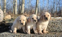 Our purebread CKC registered yellow labs  are ready to go to there new homes. only 1 female left . They all have been microchipped, had their first shots, and dewormed by a licenced vet. Both mother and father are very obident and excellent with kids and