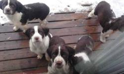 We have 2 pure bread English springer spaniels puppies that we are selling. 1 Female and 1 Male are left. The pups come with their first set of shots and docked tails! They are very friendly and love people. They are eating solid food. We are asking $350
