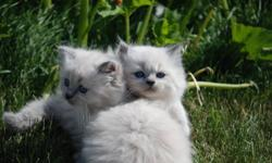 I have six gorgeous Himalayan kittens. There are three cream points one female and two males and three blue point males. First vaccinations and deworming comes with the purchase of the kitten.  They are extremely friendly and loving cats. Call  me at