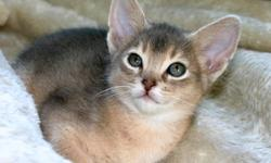 I have 1 Blue Male Purebred Adyssinian Left from a litter of 5 kittens, 2 were Ruddy's and 3 were Blue.    He is extremely playful, healthy, and happy.  He is being socialized with an big adult dog. He will be ready to go to his new loving home around