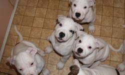 Beautiful Purebred NKC Registered American Bulldog Puppies. Only 4 Left! These are the standard type American Bulldogs. The Sire is a White English/Ol Southern White Bulldog. The Dam has some Johnson Bloodlines. Both parents have fantastic temperments and