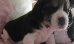 Sire and Dam are 13inch CKC Registered Purebred Beagles. Both have excellent health, great temperaments and conformation. 7 Beautiful and smart puppies  available after Nov 9 to good homes with people who have the time required for a puppy. 2 Females and