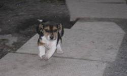 These are purebred and fully registered beagle puppies for sale for only $200. Please contact Jimmy at (905) 562-0357 or (905) 329-8486 (please no emails).