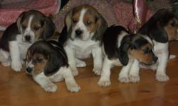 I HAVE BEAUTIFUL BEAGLE FOR SALE,THEY'RE PARENTS ARE  EXCELLENT HUNTERS AND R BOTH ON SITE.THEY WILL BE VET CHECKED AND NEEDLED AND WORMED,THATS ALL INCLUDED IN PRICE.
