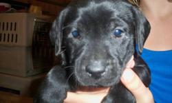 Black pup is $250 & the chocolate is $350. Only 2 left, both males. One black and one chocolate. The chocolate has second shots as well.We have both parents. Dad is a purebred golden and mom is a purebred black. The parents are both good hunting dogs. The