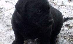 We have 5 BEAUTIFUL Purebred Black Lab Puppies for sale. They have been DEWORMED. Ready to go to a new home. Father is an excellent retriever and also great with kids.