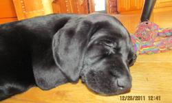 Female black lab puppy for sale. The last available puppy from a litter of eight. Mom is a purebred chocolate lab and Dad is a purebred black lab. Both parents are on site for viewing. Puppy is being sold without papers for $350 firm. She has had her