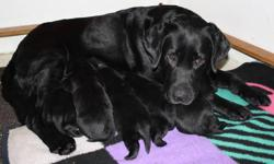 Purebred Labrador Retriever Puppies Blacks Males and Females Available Born January 7th Ready to go home at 8 weeks of age (any time after February 25th) Puppies are raised in our house and come with the following - Canadian Kennel Club (CKC) Registered -