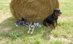 We have a litter of 6 males and 4 females for sale, some are spoken for I will update every week with new photos, some will be speckles like the dad other are the dark grey. Both parents can be viewed here or on the ad and are working dogs on our cattle