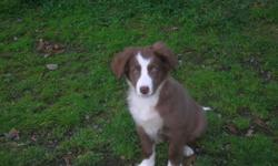 Now ready for their forever homes, purebred black and white border collie pups, males and females, vet checked, 1st vacinations, wormed as required. This breed of dog are extremely intelligent, loyal, great watch dogs and are all round great companions.
