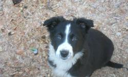 Ready for their forever homes purebred black and white border collie pups,  2 males left,  vet checked, 1st vacinations, wormed as required. Border collies are extremely intelligent,loyal, great watch dogs and are all round great companions. Agility,
