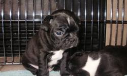 2 male and 2 female Purebred Bostons available to go  to their new homes mid-January.  Will have vet-check and 1st shots.  Raised with our family and other pets. $1000.00.
