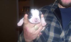 for sale by owner 3 boston terrier puppies,,1 male and 2 females,,,will be ready to go on feb 15th,,,all shots will be up to date,,and parents are on site for viewing. Mom is cream & white  Dad is black & white. pics attached.