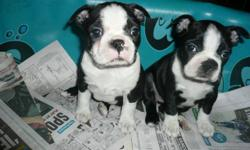 I have two beautiful Boston babies left in my litter. Great markings and temperaments!   1 is a brindle with white and the other is black with white.   Dad is a gorgeous registered male, short and stocky with a fantastic personality! Mom is black and
