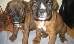 We have 2 beautiful purebred boxer puppies males. Dewclaws removed and tails were docked. Puppies have been dewormed and vet checked. Mother is on site. Dad is CKC Registered. Mother and Dad are on last picture.