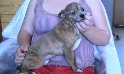 I have a Nuetered Purebred Male Chihuahua, brindle in color with dilute white paws for sale. I am asking $200.00 for him. He is 3 yrs old, and has been raised around children and other dogs and cats. He is a very quiet dog, most dogs of this breed are