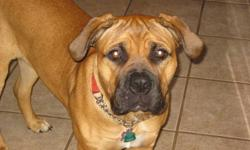 Have a beautiful 9 month old purebred spayed female bullmastif for sale. Has a wonderful disposition and is great with children. Gets along well with other dogs at the dog park but does not do well with cats. Comes with her registration papers. Has had