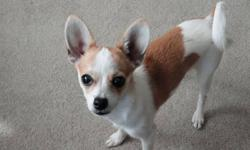 Purebred female unaltered Chihuahua to give to a good loving home.  We have owned her since she was 3 months old.  She is the sweetest dog in the world.  She gets along well with our older dog and is amazing with kids.  We feel that she needs to be in a