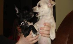 3 Male Purebred Chihuahua puppies for sale.Mother&Father both up to date with thier vaccinations. Mother Registered at Sydney Animal Hospital. All Four puppies will be getting thier first set of needles as well as a de-worming treatment on the 17th of