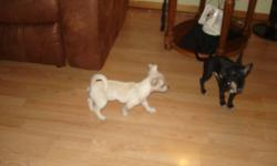 3 Purebred Chihuahua puppies for sale,one beige;two black&brown. All three puppies are males. The puppies will be registered at the Sydney Animal Hopital and will also be receiving thier first set of immunizations & Deworming there. All Puppies will come