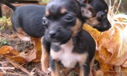 PLEASE NOTE: I can only accept replies by telephone at: (519) 668-2547 This number has been corrected. All email/text replies will go unanswered. She's ready for Christmas! There is only one black purebred Chihuahua still available.  She is a little more