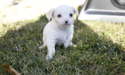 TACO & BELLS BEAUTIFUL BOUNCING BABY CHIHUAHUA'S.ONLY 1 LEFT. Picture #1-4 Boy,long hair,applehead, white with blue eyes.Very affectionate and playful, loves to cuddle/kisses.. Taco & Bell have had another litter of beautiful healthy pups. This is their