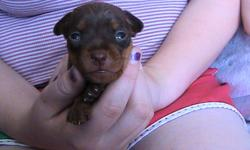 Hi there. I have 1 Purebred Chocolate-rust Male Minature Pinscher left for sale. He was born on October 15, 2011 and will be ready to go on December 10,2011. Dew claws are removed, tail is docked. Will come paper trained, and first set of shots. Mother