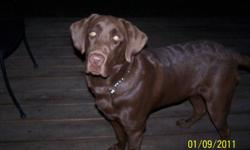 I have a 7month old purebred male chocolate lab puppy for sale. His shots are all up to date.He is not neutered. He is kennel trained for nights and outside during the day. He is a lovely dog!