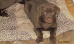 I am selling Chocolate lab pups for $400.00 each. They were born October 1st. They have had their, de-worming, first shots, and have a clean bill of health from the vet.. They do not come with papers. There are 2 females left. A $200.00 deposit is