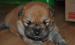 Purebred AKC chows for sale