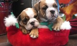 MERRY CHRISTMAS FROM COULEEBANK BULLDOGS ... WHERE QUALITY COUNTS!!! Two Amazingly Handsome Baby Boys ? Two Absolutely Fabulous Little Girls One of the nicest litters of English Bulldog Puppies we have ever produced -  ALMOST READY TO GO!  They were 6