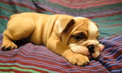 PUREBRED ENGLISH BULLDOG PUPPIES READY TO GO NOW! THEY HAVE COMPACT BODIES AND A LOT OF WRINKLES 5 MALES AVAILABLE THEY COME: VET CHECKED DE WORMED 1st SET OF VACCINES MICRO-CHIPPED FOR MORE INFORMATION PLEASE CONTACT: EDISON 647 669 3630 ANDREA 647 833