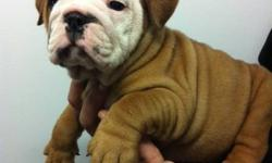 PUREBRED ENGLISH BULLDOG PUPPIES READY TO GO NOW! THEY HAVE COMPACT BODIES AND A LOT OF WRINKLES   1 MALE AND 3 FEMALES AVAILABLE THEY COME: VET CHECKED DE WORMED 1 SET OF VACCINES MICRO-CHIPPED WE ARE LOCATED 25 MINUTES FROM TORONTO FOR MORE INFORMATION