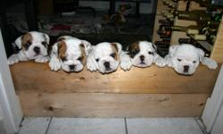 Purebred English Bulldogs for Sale! We are a registered CKC breeder and do this as a family venture. We have a beautiful female English Bulldog that is pregnant and puppies are due to arrive via c-section on December 23rd. (Christmas presents!) They will